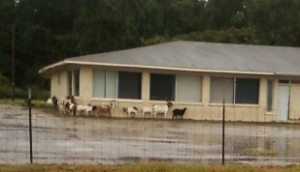 goats in the rain